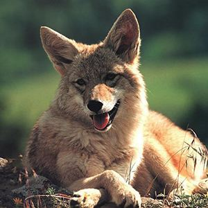Numbers of Urban Coyotes Are Increasing–How To Avoid Conflicts