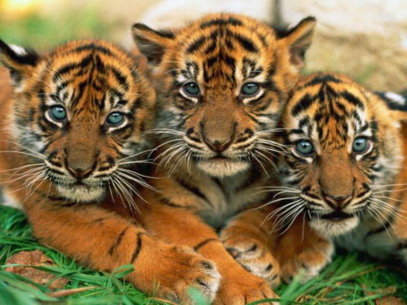 tiger_cub_wallpaper 3